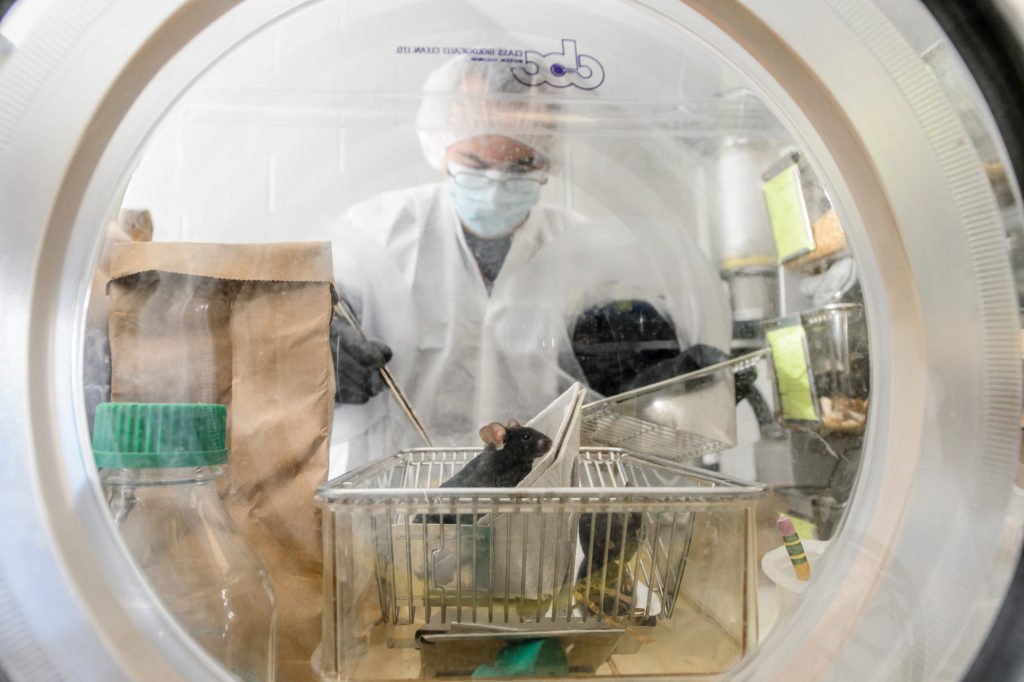 Nacho Vivas, lab manager at the Rey Lab, checks on a group of germ-free mice inside a sterile environment