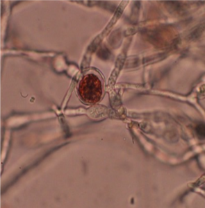 An image of the antimicrobial compound getting inside the fungus.